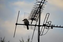 Kookaburra Television (Bl. Mtns. girl) Tags: kookaburra aerial