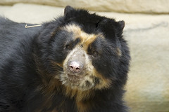 Handsome Chester (ucumari photography) Tags: ucumriphotography chester andeanbear spectacledbear tremarctosornatus bear oso animal mammal cincinnati zoo ohio april 2017 ucumari dsc1640 osoandino specanimal