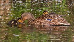 Love (keynowski) Tags: yeşilbaş mallard anasplatyrhynchos bird nature ngc animalplanet animal canon70d canonef400mmf56lusm