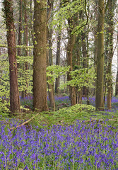 Bluebells (Tractorboy1981) Tags: woods angmering copse fern flowers shade cover trees purple green sussex uk england landscape bluebells