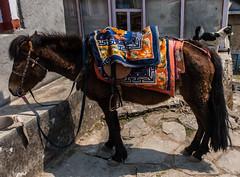 IMG_0720 (troyhulm) Tags: horse dog nepal