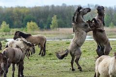 Fighting Konik Horses (madphotographers) Tags: konik konikpaarden oostvaardersplassen nature wild wilderness horses horse
