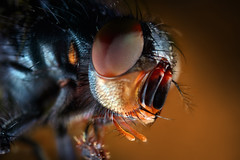 Hello Earthlings! (Vicco Gallo) Tags: macro insect fly scary horror alien invador strobist fliege compound eyes facettenaugen facettenauge
