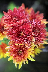 Happy Mother's Day (crafty1tutu (Ann)) Tags: happymothersday mothersday sunday may flower flowers macro chrysanthemum variegated mother friends family crafty1tutu canon5dmkiii canon180mm35lseriesmacrolens anncameron naturethroughthelens naturescarousel