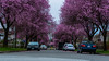 DSC_0035 (Adrian De Lisle) Tags: blossom blossoms britishcolumbia canada east15thave flowers plumblossoms plumtrees slocanst spring vancouver ca