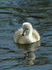 Mute swan cygnet (david.england18) Tags: muteswancygnet cygnet smallbirds various tits blue coal great localpark queensparkheywood canon7d canonef300mmf4lisusm chilly nestsite newlyhatched swans insects morning