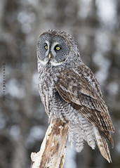 King of the North (MedicineMan4040) Tags: great grey owl