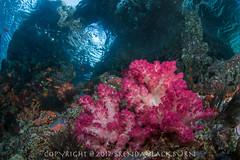 Raja Ampat - Mar 2017 (skiprock10) Tags: indonesia rajaampat scubadiving scuba diving blue pink vacation westpaupa tropical ocean sea water reef coral underwater tropicaldiving
