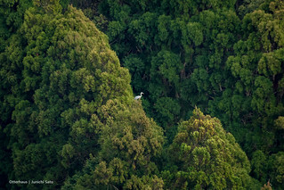 A heron on the canopy of cedar forest