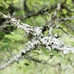 Lichen on a Cedar Elm thumbnail