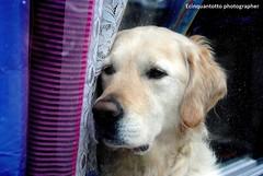 window (Ecinquantotto ( + 1.150.000 ...grazie !! )) Tags: amsterdam amstel windows window d3000 dog colori colors finestre holland nikon nikond3000 sguardo reflex ventanas street