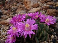 Aloinopsis spathulata DSC09097 (sierrarainshadow) Tags: aloinopsis spathulata