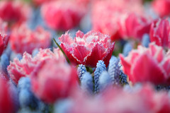 IF8A6212 (cwhilbun) Tags: keukenhof 2017 lisse holland netherlands spring tulip muscari pink blue outdoors