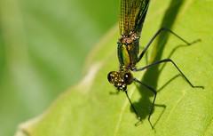 vuole fare la modella... (andrea.zanaboni) Tags: libellula verde green dragonfly nikon macro insetti insects occhi eyes