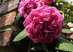 paris-163 (gabriel_flr) Tags: paris france seine ladéfense toureiffel bateaux grandearche gabrielflr gabrielflorea blueskies puteaux courbevoie macron investitureduprésident notredame rose roses rosen trandafiri trandafir blooms blumen fleures rosa