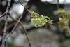 Prunus lannesiana 'Gioiko' (Masaoki Hirai) Tags: trioplanf28100 prunus cerasus rosaceae cherryblossoms