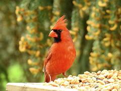 Northern Cardinal (kengi2000) Tags: outdoor bird cardinal