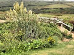Wood bridge 031 (saxonfenken) Tags: 1130corn 1130 woodbridge bridge vegetation pampasgrass grass green challengeyouwinner gamewinner pregamewinnieunam