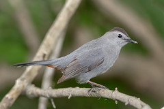 Gray Catbird (tresed47) Tags: 2017 201704apr 20170430chestercountymisc birds canon7d catbird chestercounty content extonpark folder pennsylvania peterscamera petersphotos places takenby us