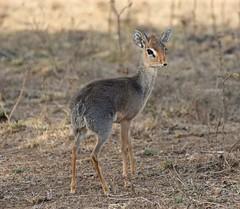 So Tiny and So Vulnerable (The Spirit of the World) Tags: nature wildlife antelope dikdik fragile delicate vulnerable fast kenya lakenakuru eastafrica africa safari gamedrive gamereserve ngc