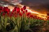 Dutch Tulips (mcalma68) Tags: tulips red spring flowers field sunset sky beemster dutchlandscape dutch landscape bravo