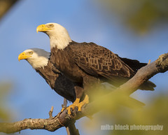 Bald Eagle pair Canon 5DSR 800mm see full size (Mike Black photography) Tags: bald eagle bird nature big year canon 5dsr 800mm body lens is usm l nj new jersey shore belmar white black birding flight raptor prey tree sky