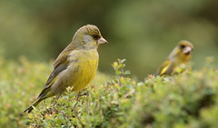 Greenfinches (Galway Pete) Tags: sigma160600c canon7dmk11 nature birds greenfinch pskeltonphoto galway ireland birdwatching f8 iso640 1250sec 484mm