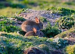 Bunnies (rustyruth1959) Tags: nikon nikond3200 tamron16300mm uk cornwall england doyden doydencastle doydenpoint doydenheadland coast coastpath animal rabbits rabbit field warren rabbitwarren ears soil earth fur outdoor evening