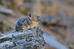 Pika (Turk Images) Tags: pika rockymountains alberta mammals rockrabbit leporidae