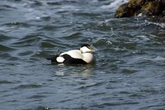 Floating Free (steve_whitmarsh) Tags: nature water sea coast shore beach aberdeen scotland animal birds eiderduck