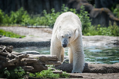 AR2017_0517_Blijdorp_8555_Edit (Adri Rovers) Tags: blijdorp rotterdam zuidholland gewervelden ijsbeer zoogdieren