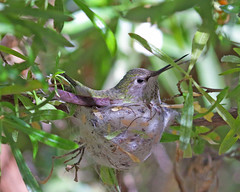 Anna's Hummingbird (female) (Keith Carlson) Tags: annashummingbird calypteanna hummingtbirds nests