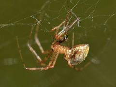 Spider with prey - its mate?? (Treebeard) Tags: spider sheetwebweaver linyphiidae spidercannibalism sanmarcospass santabarbaracounty california