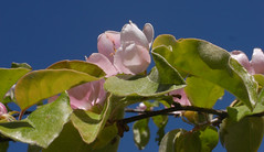 quince blossom (the incredible how (intermitten.t)) Tags: blossom theranch quince quinceblossom sky bluesky 20170508 11614