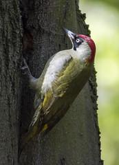 Green Woodpecker ( female) (Ian Unwin) Tags: green red woodpecker white elusive bird feather tree breeding pair nest hole eye