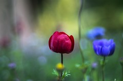 yellow, red, blue (Stefano Rugolo) Tags: pentax k5 colors bokeh smcpentaxm50mmf17 italy spring 2017 plant outdoor depthoffield anemonecoronaria red blossom blue green light fabriano marche appennini nature flowers meadow grass pov perspective dof flower garden yellow stefanorugolo