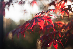 You Set  My Heart On Fire (ursulamller900) Tags: mygarden maple ahorn leaves red bokeh trioplan2950 rot blätter colorful