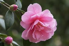 Camellia Williamsii (wietsej) Tags: sony rx10 111 iii rx10iii rx10m3 arboretum hetleen eeklo belgium flower camellia williamsii wietse jongsma