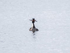 Great Crested Grebes 2