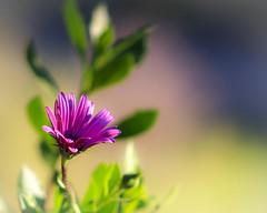 Dreamy, Hazy, Purple Daisy (Naturali Images) Tags: dreamy hazy purpledaisy singleflower bokeh