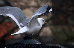 Seagull (Linnea from Sweden) Tags: seagull bird nature canon eos 1100d efs 55250mm f456 is ii