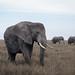 Elephants of the Serengeti