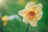 May Flowers (SimplyAmy74) Tags: flowers may mayflowers pacificnorthwest lakecoeurdalene lakecabin macro sonya7rii canon100mm canonlens narcissus sunshine closeup spring happiness explore exploreidaho idahoexplored pollen raysofsun sunrays sun myfavoriteplace idahome