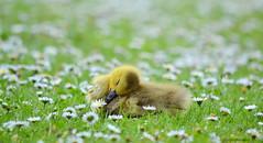 Lone sleeper (purplepheonixx) Tags: leicestershire leicester abbeypark spring cute birds water waterfowl geese gosling nikond3100 nikon nature