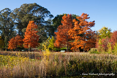 Spectacular autumn colours, Canberra (Anna Calvert Photography) Tags: australia canberra lakeburleygriffin travelphotography autumn autumncolours landscape landscapephotography nature trees water