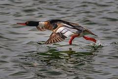 Merganser on the run (bodro) Tags: bolsachica bird birdontherun duck ecologicalreserve merganser takeoff wetlands