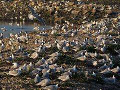 Black Headed Gulls - nesting (fstop186) Tags: roosting nesting island colony abandoned wild nature gulls seagulls blackheadedgulls sanctuary birdsinflight