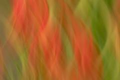 Tulip Flames (Elainе) Tags: oregon tulips flames impressionistic red