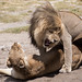 Lion Lovers - The Serengeti