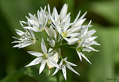 Wild Garlic  HMM (Eleanor (No multiple invites please)) Tags: wildgarlic whiteflower welshharp hendon london nikond7200 105mmmacrolens may2017 macromonday intothewoods
